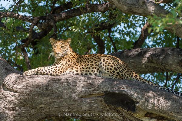 Afrikanischer Leopard, Panthera pardus pardus, 20130226-MSF3042