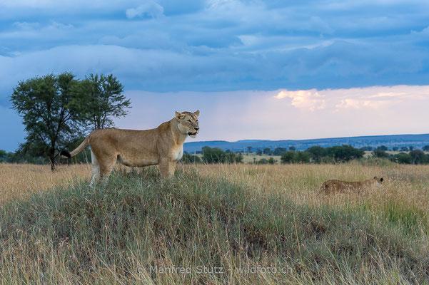 Afrikanischer Löwe, Panthera leo, Weiblich, 20140603-_MSF6273