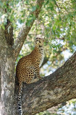 Afrikanischer Leopard, Panthera pardus pardus, 20130226-MSF2853