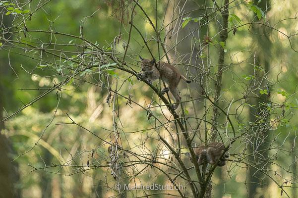 Junge Luchse beim spielen auf einem Baum, Eurasischer Luchs, Wildpark Gangelt, Deutschland