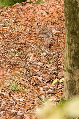Eurasischer Luchs (wildpark)