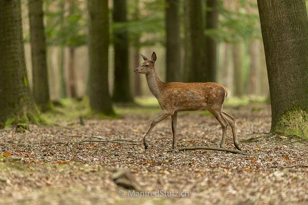 Junger Rothirsch (wildpark)