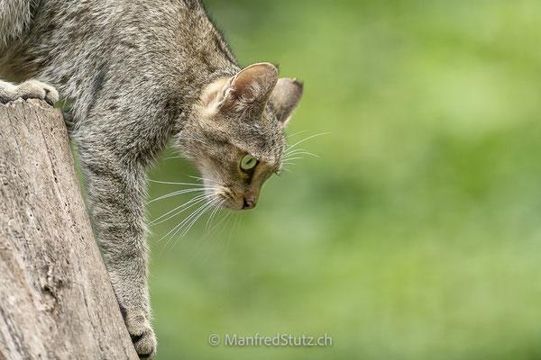 Wildkatze (wildpark)