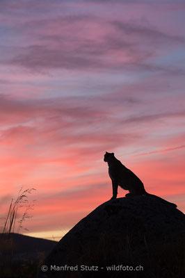 Gepard, Acinonyx jubatus, 20161007-D4D7914