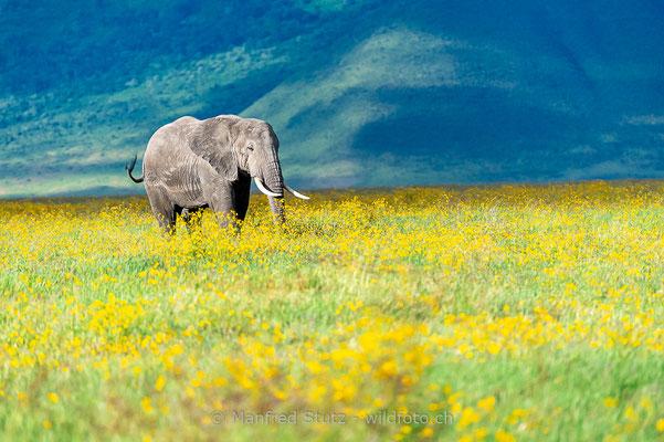 Afrikanischer Elefant, Loxodonta africana, 20140526-MSF0402