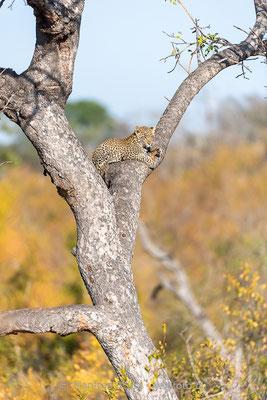 Afrikanischer Leopard, Panthera pardus pardus, 20170705-DSC-5439