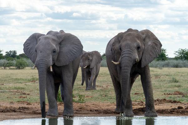 Afrikanischer Elefant, Loxodonta africana, 20150304-MSF0478