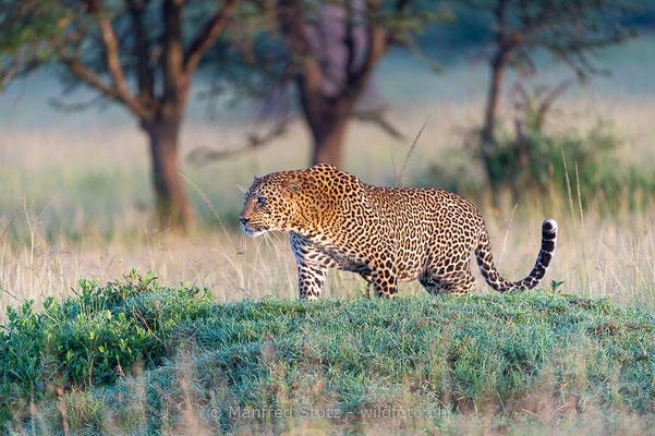 Afrikanischer Leopard, Panthera pardus pardus, 20160205-D040252
