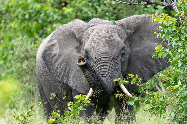 Afrikanischer Elefant, Loxodonta africana, 20130221-MSF9588