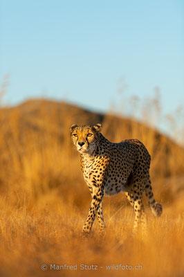 Gepard, Acinonyx jubatus, 20161007-D4D5388