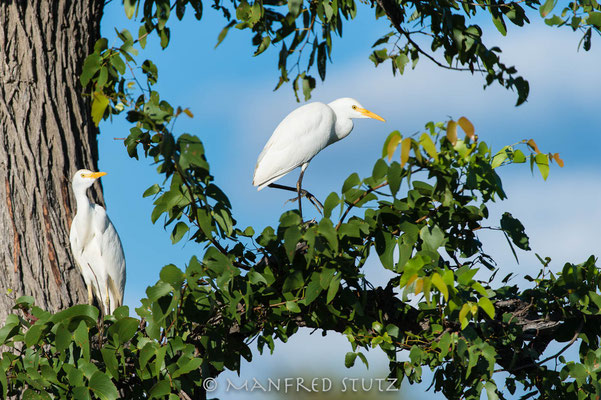 Cattle egret, Bubulcus ibis, Kuhreiher
