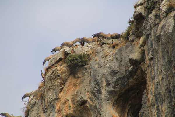 Gänsegeier in der Foz de Lumbier.