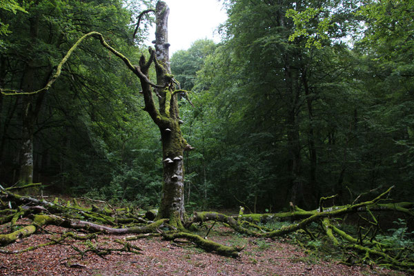 Im Bosque de Irati (Provinz Navarra).