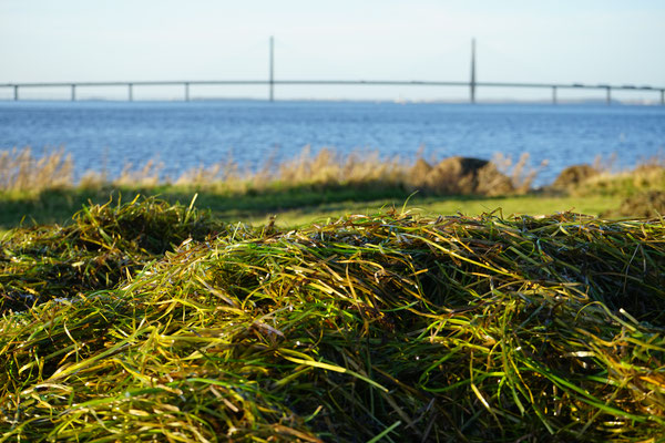 Seegras auf Wiesen am Ostseeufer