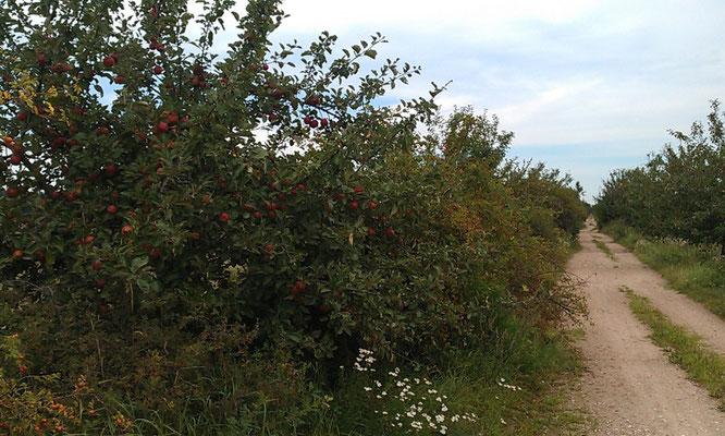 Apfelbaumweg