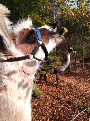 Belinda schmeckt das Herbstlaub