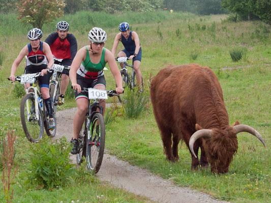 Radsplit in Vlaardingen - ohne Markierungen...   dafür mit wilden Rindern