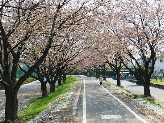 入間川自転車道の桜のトンネル(葉桜になっていました)