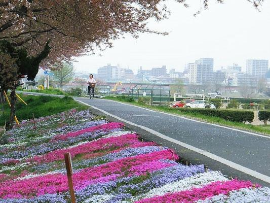 入間川終点付近の芝桜畑