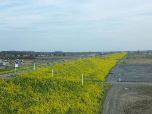 黄色の荒川の土手はずっと先まで続いています。