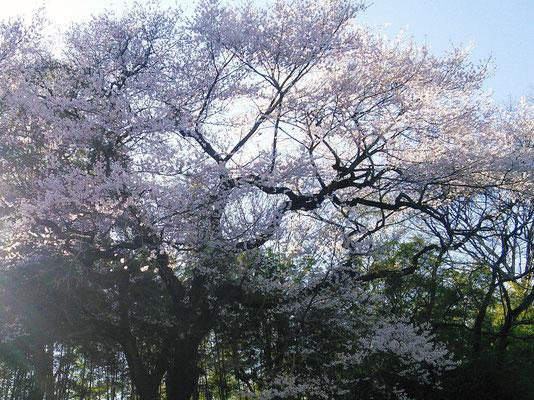 Edohigan Sakura@Kinamoto Nature Park