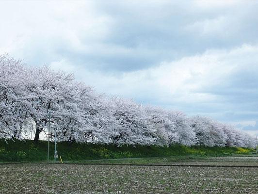 吉見町の桜堤公園(1.8キロメートルの桜並木)