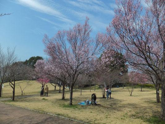 高尾さくら公園の江戸彼岸桜も満開でした