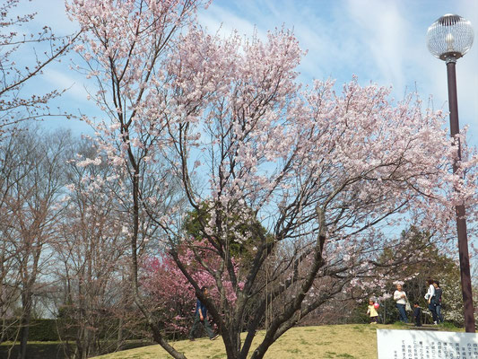 高尾さくら公園の貞山さくらも満開でした
