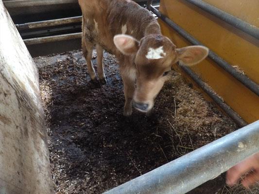 榎本牧場の生まれたてのジャージー牛の小牛