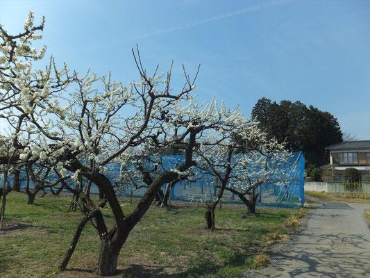 プラムの白い色の花