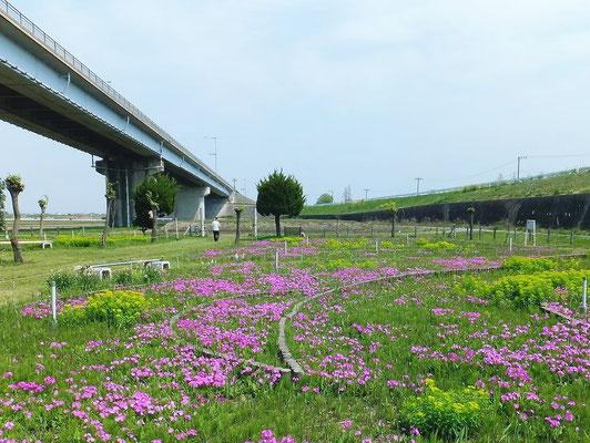 治水橋の下の錦乃原櫻草園2