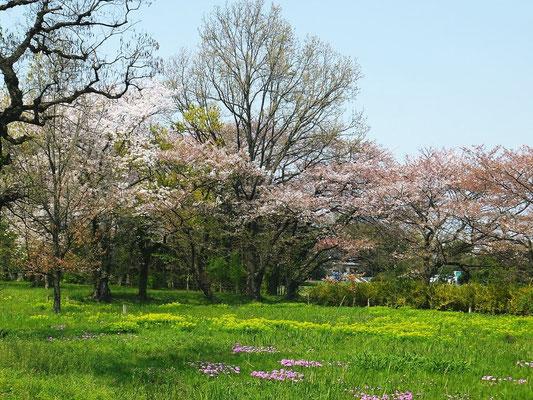 桜、野うるし、桜草のセット写真