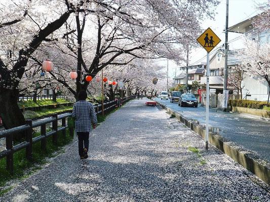 川沿いの道も桜の花びらで覆われる