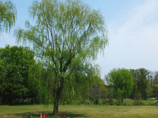 秋ヶ瀬公園の新緑の柳