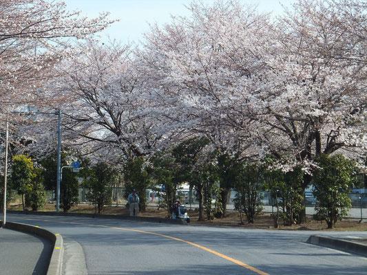 北里病院前の桜