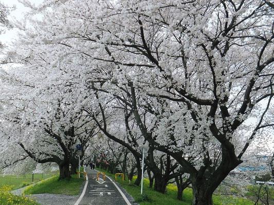 桜堤公園の自転車道