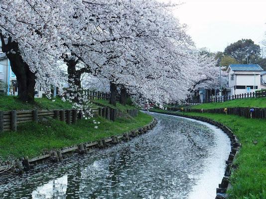 土砂降りで桜の花もだいぶ落ちたのか?