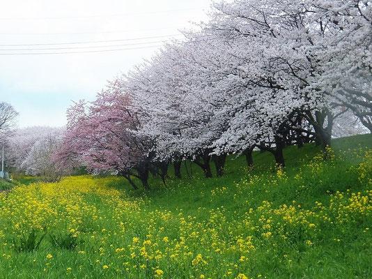 菜の花と桜のコラボレーション