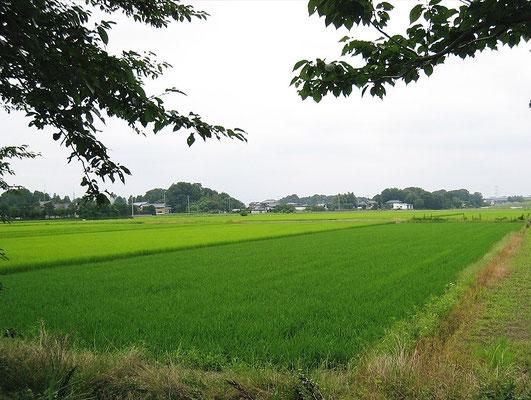五霞町の田園(色の違いが面白い)