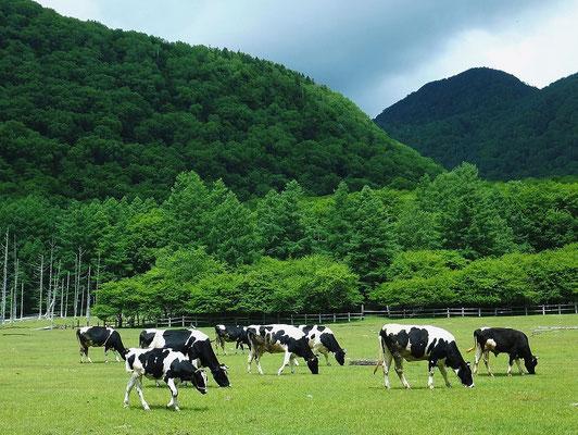 """""""Kotoku"""" Dairy Farm near """"Senjo-ga-hara"""""""
