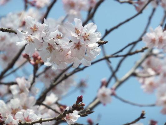 Syozan Sakura (ショウザンサクラ)