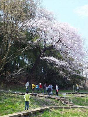 北本自然観察公園内の大きな江戸彼岸桜(29メートル高)