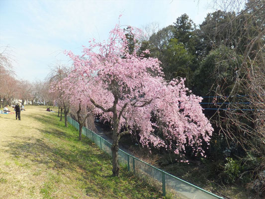 高尾さくら公園のしだれ桜も満開でした