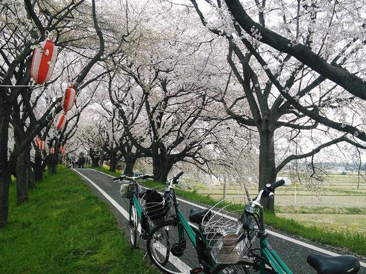 さくら堤公園(吉見町)