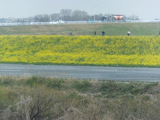 荒川の堤防は黄色一色