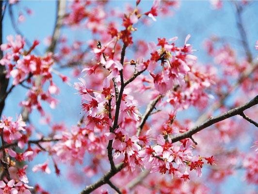 Okame Sakura (オカメサクラ)