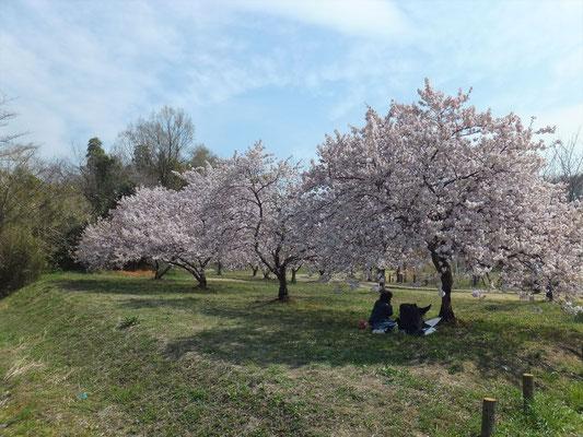 高尾さくら公園の大寒桜は満開でした