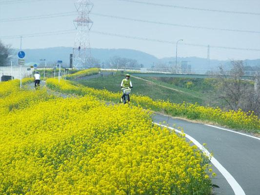 菜の花の自転車道を駆ける