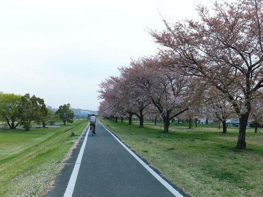 入間川自転車道の入間川土手の桜並木