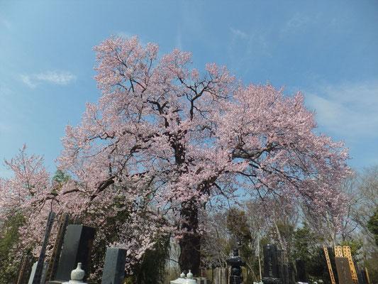 高尾さくくら公園の隣の墓地のさくらが一番見事でした